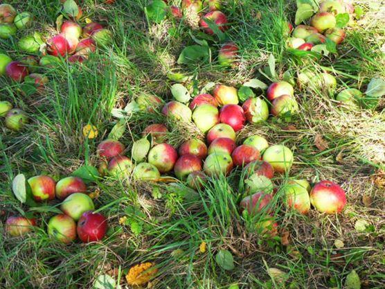 pommes herbe